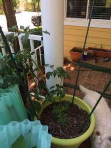 staking tomatoes in containers
